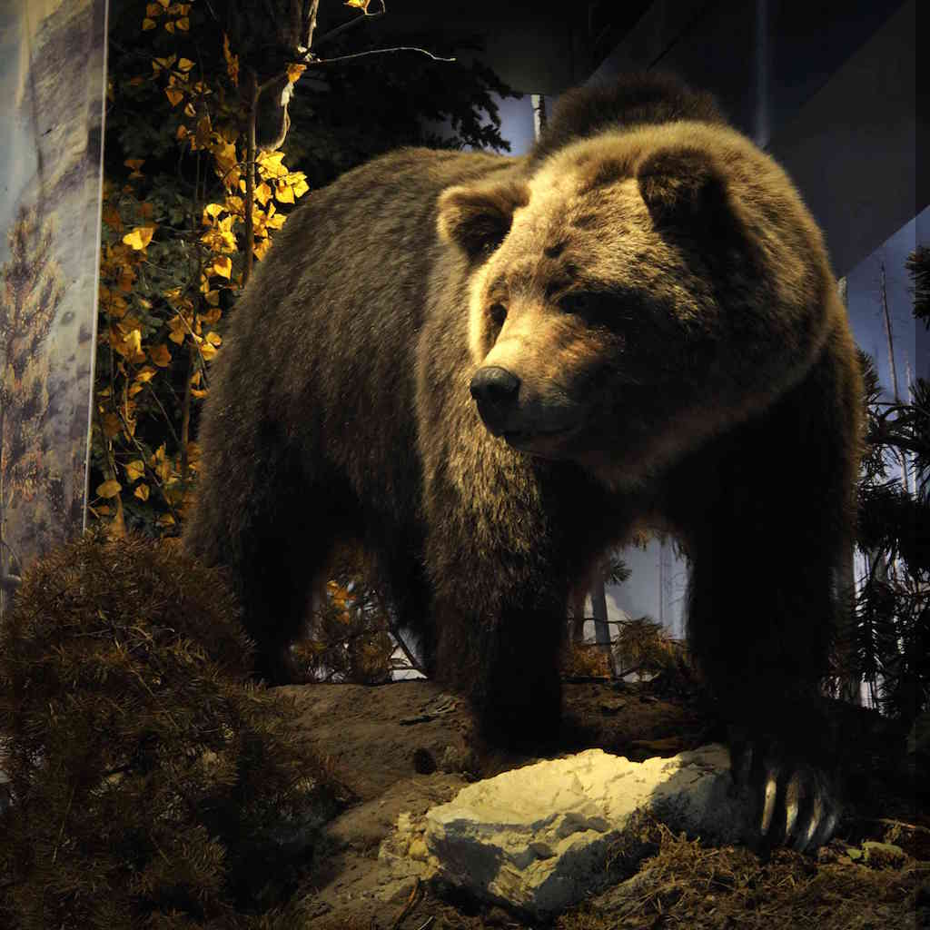 Draper Museum of Natural History Grizzly Detail